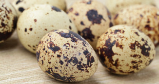 Польза перепелиных яиц для здоровья